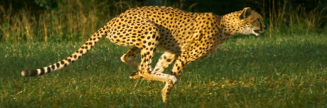CheetahsOnTheEdgeHeader
